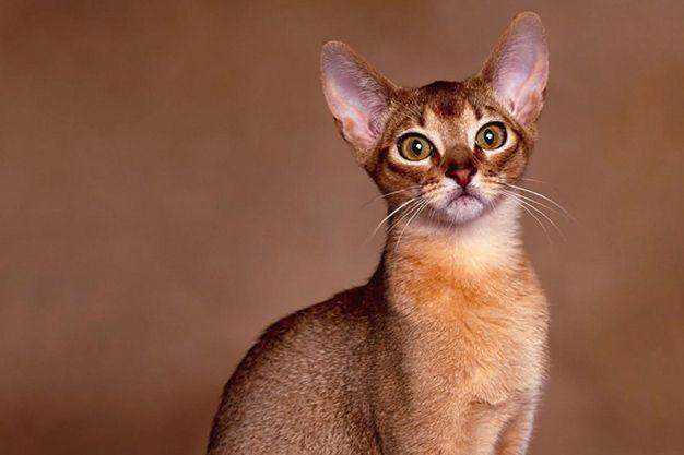 Allerca gato hipoalergénico