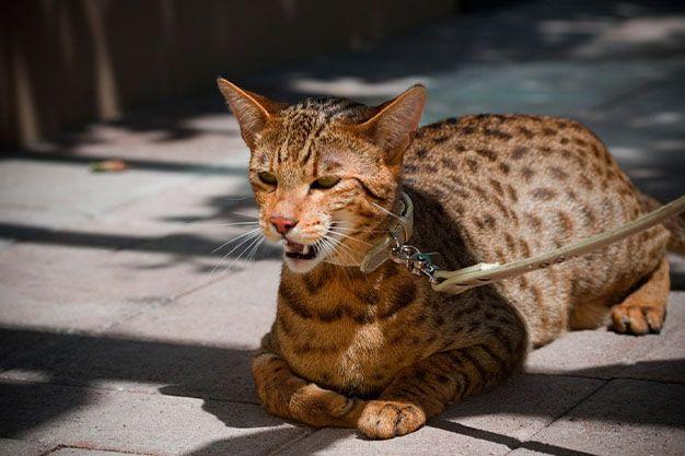 Ashera, el gato más caro del mundo
