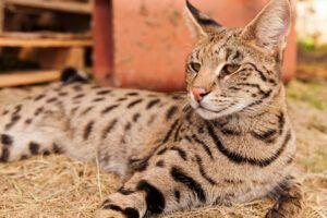 Los 3 gatos más caros del mundo